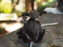 Love, monkeys hug, monkeys play Royalty Free Stock Photos