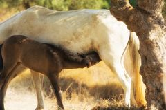 Close up of a mother breastfeeding her baby horse. A loving and caring moment. Stock Image