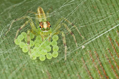 Love from the mother. This jumping spider are protecting its eggs from harm but human, and the webs on top protect the eggs from other insects Royalty Free Stock Photo
