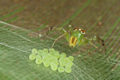Love from the mother. This jumping spider are protecting its eggs from harm but human, and the webs on top protect the eggs from other insects Royalty Free Stock Image