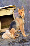 Mother dog and puppies Royalty Free Stock Images