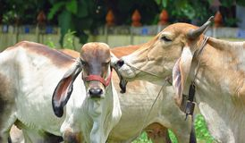 The love of a mother cow and her calf. royalty free stock images