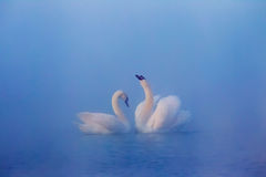 Love of mute swans Royalty Free Stock Images