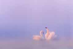Love of mute swans Stock Images