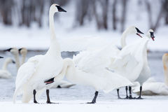 Love nudge. Swan displaying affection towards mate Stock Image