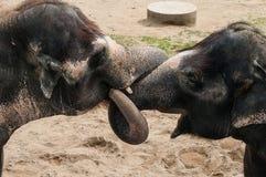 Love Of Two Elaphants Stock Photo