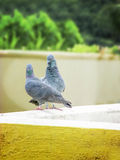 Love Pair- couple of Pigeon Royalty Free Stock Photo