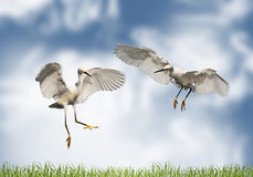 Love - pair of cranes on a meadow Stock Photography