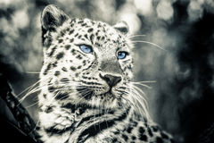 Love panther. Portrait of a love panther Royalty Free Stock Images