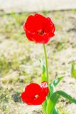 Love, passion, romance. Tulips with red petals blossoming on sunny day. Tulip flower garden in spring. Spring, summer season. Nature, beauty, environment Royalty Free Stock Image