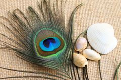 Love and peace. Feather of peacock and sea shell representing love and peace Stock Photo