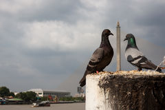 Love pigeons. Pigeons forming heart shape between them Royalty Free Stock Image