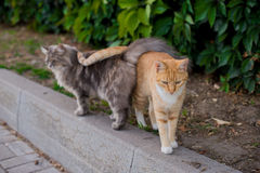 Beautiful cats. Love between a red and gray cat Royalty Free Stock Photo