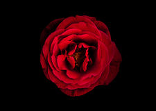 Love in a Red Rose Stock Images