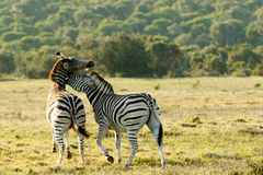 Love on the Rocks 2 - Burchell's Zebra. Is a southern subspecies of the plains zebra. It is named after the British explorer and naturalist William John stock image