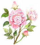 Love rose. Branches of pink blossom rose in water color Stock Images