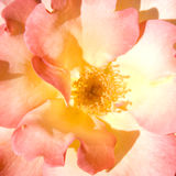 Love of rose stock photography