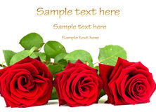 Love roses. Beautiful red rose close up over white background with sample text Stock Image