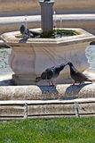 Love scene between pigeons Stock Photo