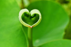 Love shape lotus leaf Stock Photos