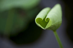 Love the shape of the lotus leaf Royalty Free Stock Photography