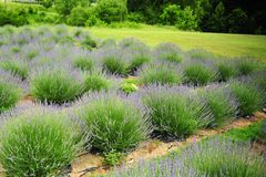 Love the Smell of Lavender on the Farm in Middle Tennessee Royalty Free Stock Images