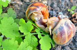 Love snails Royalty Free Stock Images