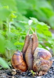 Love snails Stock Images