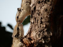Love. Squirrel kissing each other Stock Image