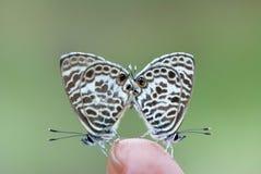 Love stops on my finger. (butterflies:Syntarucus plinius Stock Images