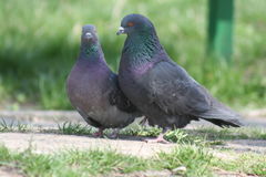 Love story. Pigeons Royalty Free Stock Image