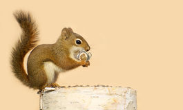 Love struck squirrel. Stock Images