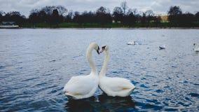 Love Swans in London Lake stock photo