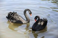 Love swans Royalty Free Stock Photo