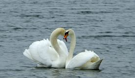 Love swans Royalty Free Stock Image