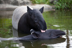 Love of Tapir. The tapir and a small baby of it showing their love  each other using a tongue  for cleaner a babys  body Royalty Free Stock Images