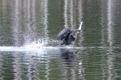 Flying and catching, a cormorant getting fish