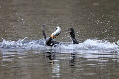 Beautiful posture of cormorant getting fish and other one is shouting for lose