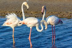 Love triangle of pink flamingos in the sea lagoon stock images