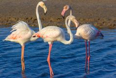 Love triangle of pink flamingos in the sea lagoon stock photography
