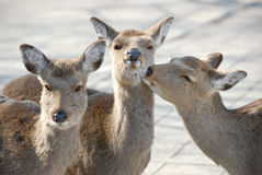 Love triangle (three is a crowd). Deer considered as sacred, is a common sight around temples in Japan Stock Photography