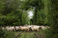 Love Tunel and Sheep Hoard Stock Images