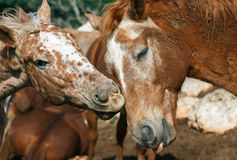 Love two horses Royalty Free Stock Photography