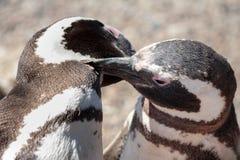 Penguin Love Royalty Free Stock Photo