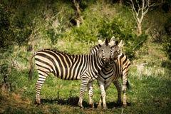 Love between two zebras Stock Photography