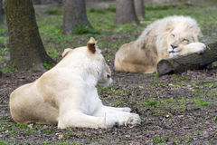 After love - white lion and lioness (Panthera leo kruegeri) Stock Image