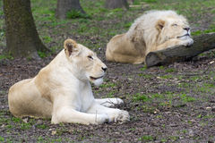 After love - white lion and lioness (Panthera leo kruegeri) stock photography