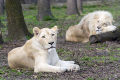 After love - white lion and lioness (Panthera leo kruegeri) Stock Photos