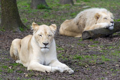 After love - white lion and lioness (Panthera leo kruegeri) Stock Images