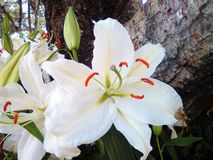 Love a wholesome. Meaning of white lilies flower Stock Images